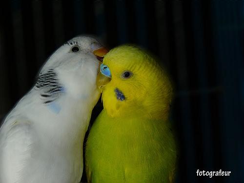 http://img.aftab.cc/news/90/l_ove_bird.jpg