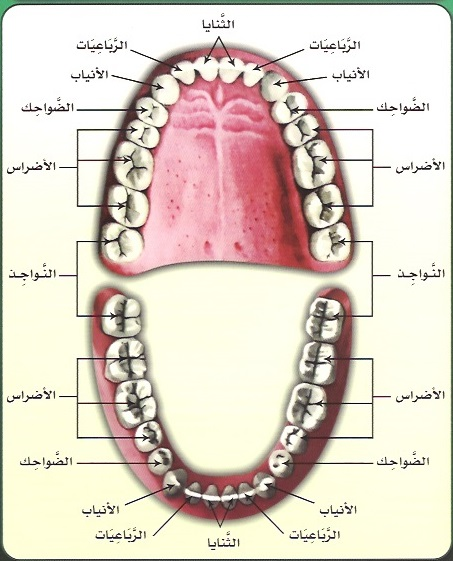 https://img.aftab.cc/news/99/arabic_name_of_teeth.jpg