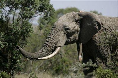 http://img.aftab.cc/news/kenya_texting_elephants.jpg